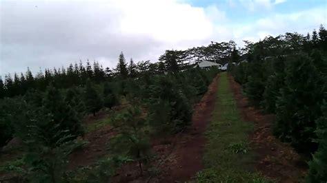 choosing our christmas tree at helemano farms wahiawa oahu