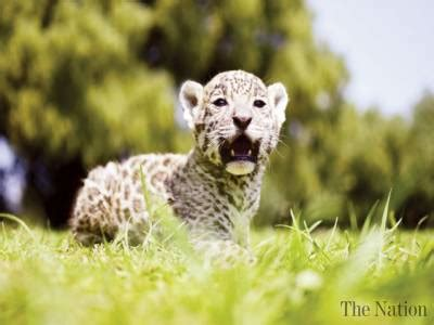 cubs newborn fan newborn jaguar cubs draw fans at mexico wildlife park