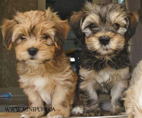 havanese mini 39 best images about puppies on poodles yorkie and image search