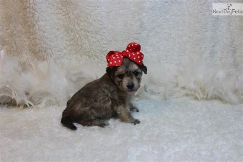 yorkie puppies st louis yorkiepoo yorkie poo puppy for sale near st louis missouri breeds picture