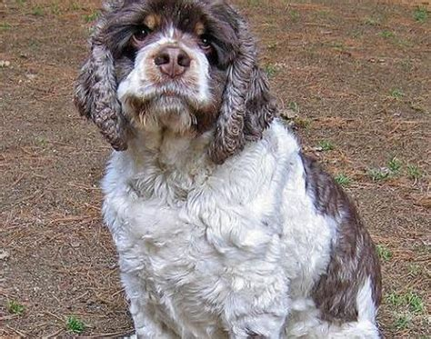 Picture 4 of 8 - American Cocker Spaniel Pictures & Images ...