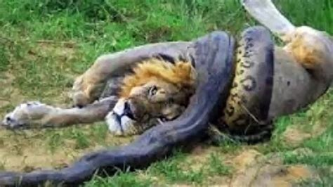 wild animals of the wild animal attack www pixshark com images galleries with a bite
