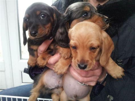 standard dachshund puppies standard dachshund vs miniature dachshund quotes