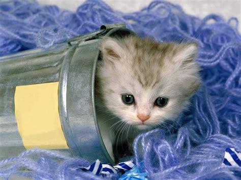 imagenes de gatitos blancas tiernas imagenes tiernas de gatitos bebes banco de im 225 genes gratis