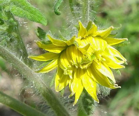 Toato Flower Top 29 best images about garden veg tomatoes on gardens in august and black sea