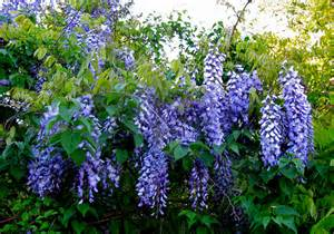 wisteria in bloom img 9682 flickr photo sharing