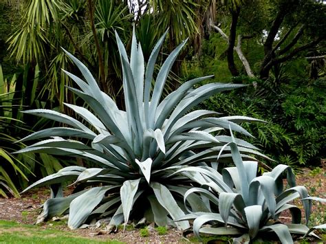 agave century plant maguey