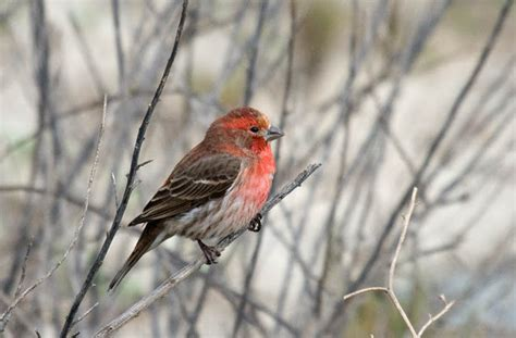 red house finch greg in san diego