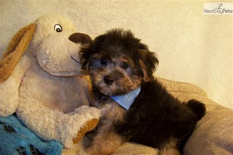 yorkie poo puppies for sale in missouri yorkiepoo yorkie poo puppy for sale near st louis missouri c4d4e5fd f551