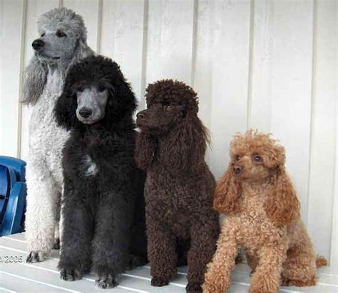 poodle colors oodles of poodles poodles chocolate to