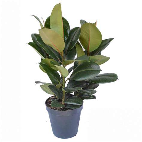 ficus elastica ficus elastica plantimex