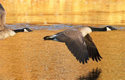 canada goose jacket shedding feathers canada goose