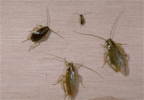cockroaches in house roaches in house