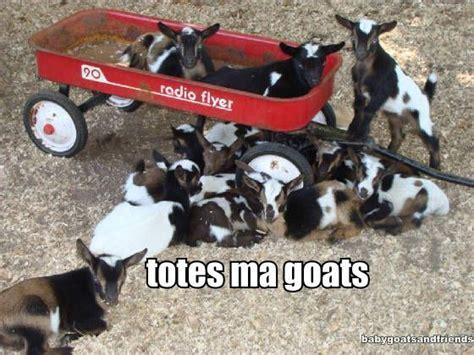 Totes Magotes Meme - totes ma goats totes mah goats meme funny goat in a bag quotes