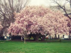 cherry blossom tree sakura cherry blossom tree the giving tree pinterest
