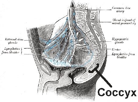 tailbone images for coccyx tailbone doctor