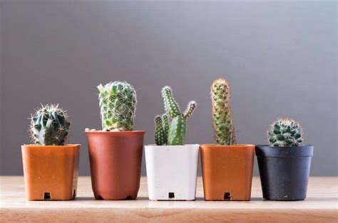 indoor cactus plants  introduction igardenplanting