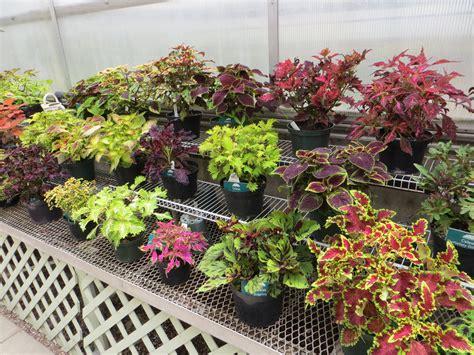 Garden Plants File Coleus Plant Varieties Des Moines Botanical Center