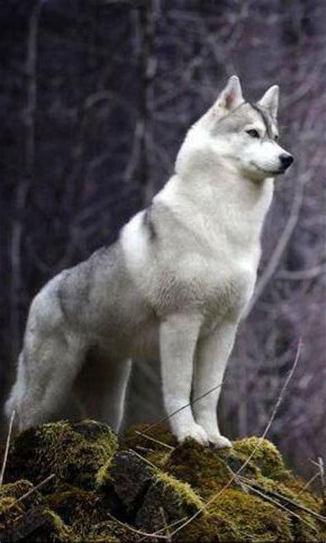 wolf pomeranian hybrid 25 b 228 sta id 233 erna om husky wolf mix p 229