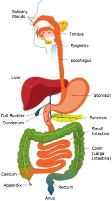 7 Tips To A Healthy Digestive System by Guts 3 Tips For A Healthy Digestive System Thrive