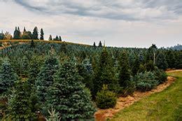 christmas tree places apple hill ca hillside tree farm apple hill camino california