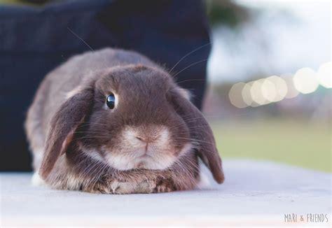 lop eared rabbits lop eared rabbits photo 38483749 fanpop