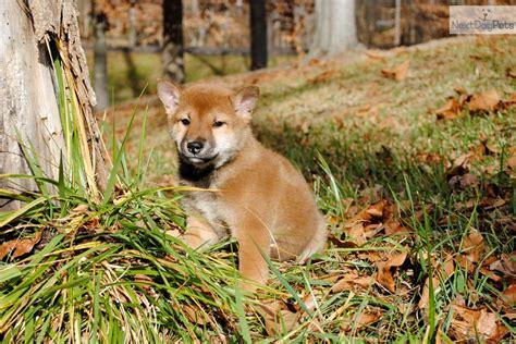 shiba inu puppies for sale in nc shiba inu puppy for sale near carolina f10cf47e ea81