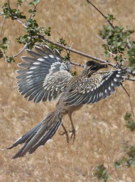great california condor comeback