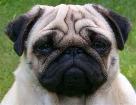 muscular pug pug site
