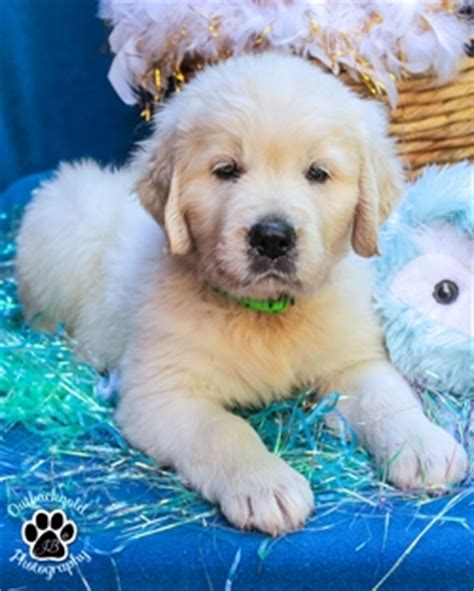 golden retriever ichthyosis outbackgold golden retrievers katherine northern territory australia