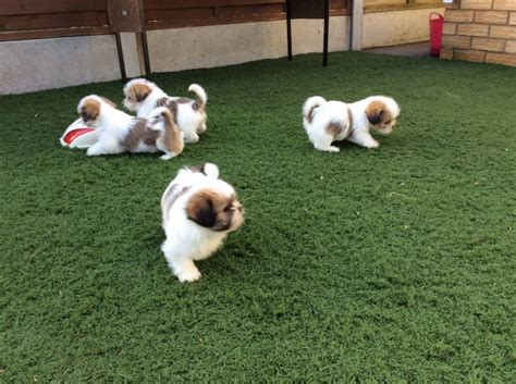 shih tzu cross maltese puppies shih tzu cross maltese terrier puppies swanley kent pets4homes