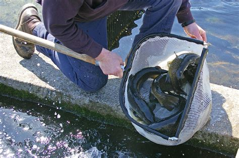 the fish and boat commission has 13 fish hatcheries right now - Pa Fish And Boat Commission Hatcheries