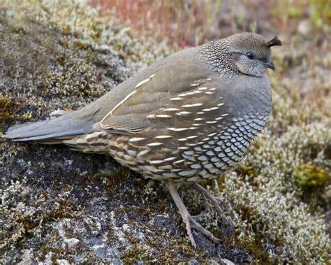 field guide california birds information california quail audubon field guide