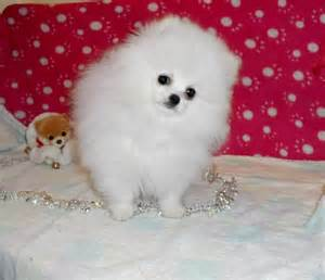 teacup white pomeranian for sale pin teacup pomeranian puppies for sale uk white on