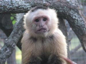 Lv Capuchin List Kombinasi jungle friends primate sanctuary ernesto