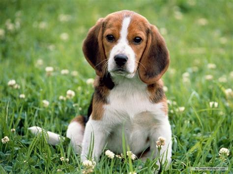beagle puppy beagle wallpaper dogs wallpaper 7013951 fanpop