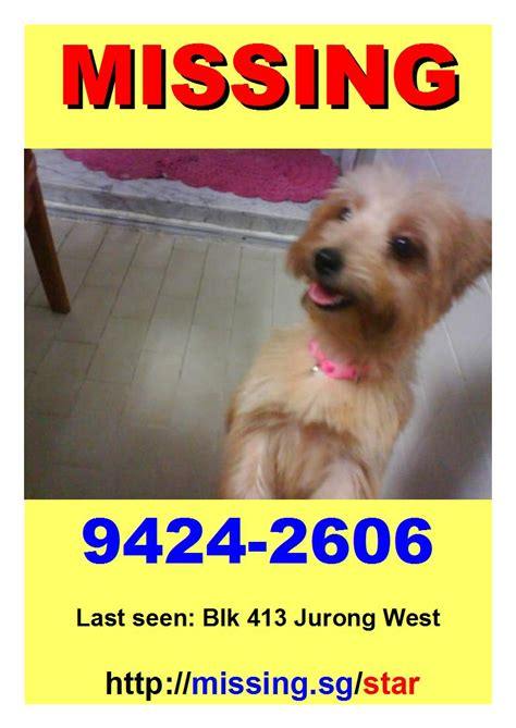 pomeranian x silky terrier you seen this missing pomeranian x silky terrier lost at blk 413 jurong west