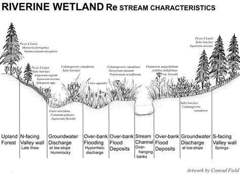 stream cross section riverine wetlands