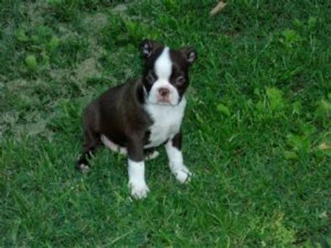 boston terrier puppies for sale in sc boston terrier puppies for sale in south carolina breeds picture