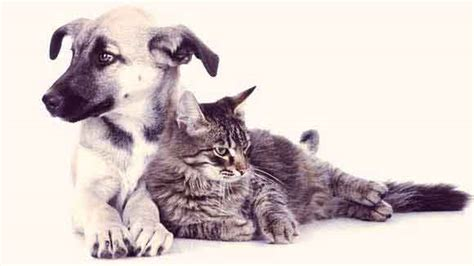 asthma in dogs symptoms of asthma in dogs and cats petcarerx