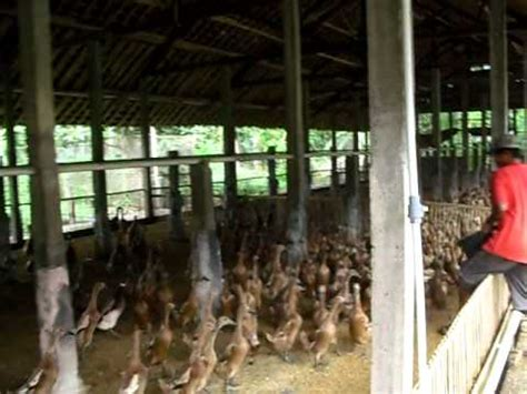 Dod Bebek Peking Kediri budidaya ternak bebek peking peluang usaha bikin kaya