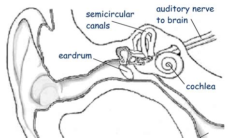 ear diagram coloring page inner ear diagram inner free engine image for user
