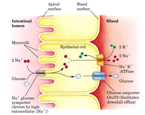 3 carbohydrates absorbed by epithelial cell bioc 462a lecture notes