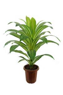 dracaena fragrans best type of plant for your desk virtual vocations