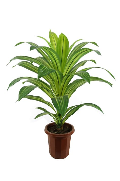 dracaena fragrans dracaena fragrans pictures