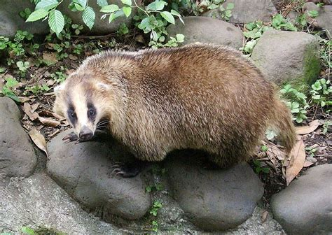 japanese badger wikipedia