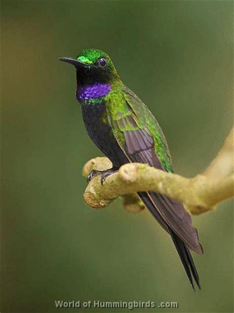 types species of hummingbirds black throated brilliant