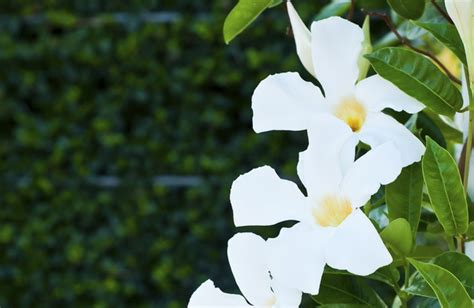 pianta sempreverde con fiori pianta ricante con fiori bianchi profumati duylinh for