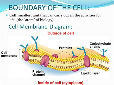 diagram of a cell membrane cell membrane passive transport ppt