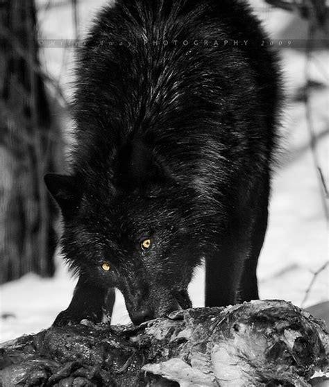 Black Wolf Growling Photography   www.pixshark.com ... Growling Black Wolf With Yellow Eyes